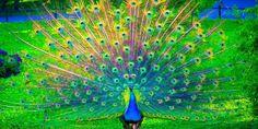 Aneka Gambar Burung Merak Yang Menakjubkan | Pernik Dunia