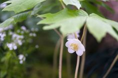 Plant profile of Podophyllum peltatum on gardenersworld.com