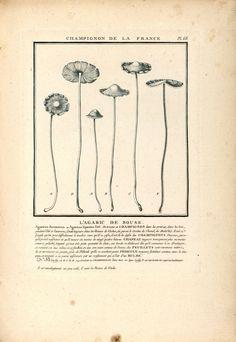 Champignon de France Agaric de Bouse - printable image