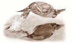 Muscles of Gentoo Penguin porpoising