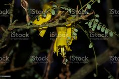 New Zealand Native (Sophora) Kowhai Bloom in Spring at Dusk New Zealand's Native Kowhai Tree in Bloom in Springtime at Dusk. Kōwhai are small woody legume trees within the genus Sophora that are native to New Zealand. Abstract Stock Photo Spring Images, Golden Flower, Photo Composition, Abstract Images, Feature Film, Photo Illustration, Image Now, Woody, Dusk