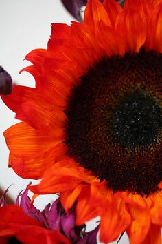 Red sunflower                                                                                                                                                     More