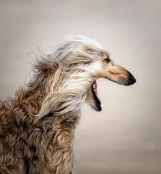 Afghan Hound by Phillipa Alexander pinned with Bazaart