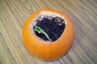 Open a pumpkin, add a little soil and water, and watch the seeds (which are already inside the pumpkin) grow!