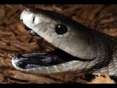 Many people always compare Black Mamba vs King Cobra fight. Go further to know comparison, difference and similarity between King Cobra vs Black Mamba. Reptiles And Amphibians, Mammals, Snake Hides, Black Mamba Snake, Poisonous Snakes, Largest Snake, Snake Venom, Pet Snake, Animals Amazing