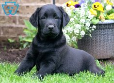 "Labrador retrievers, or ""Labs"" as they've become fondly known, are one of the most popular dog breeds of our time. Generally known and loved for their cheerful Labrador Puppies For Sale, Dogs And Puppies, Labrador Dogs, Corgi Puppies, White Labrador, Golden Labrador, Labrador Retriever, Retriever Puppies, Labrador Quotes"