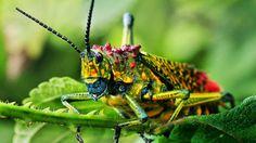 Saltamonte arco iris (un aviso de su toxicidad) Estos saltamontes de la especie Phymateus saxosus tienen una increíble variedad cromática y...