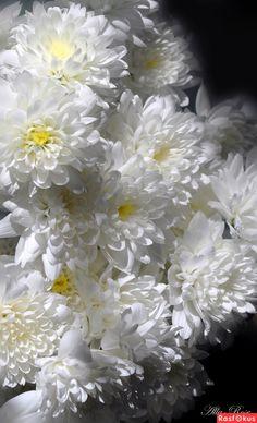 Теплый снег белых хризантем