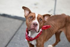 LUDEMANN - A1092692 - - Brooklyn Please Share:TO BE DESTROYED 10/26/16 A volunteer writes: Ludemann is INFINITELY sweeter than all of the baked goods you'll want to feed him upon seeing how skinny he is! Oh my goodness! He is the kind of dog you fall in love with just because of how kind his eyes look, and spending time with him makes love based on cage presence seem totally rational. He doesn't look like he's had someone looking out for him recently, bu