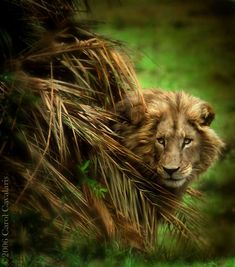 Camoflague - Awesome Lion Shot