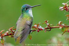 Azure-crowned Hummingbird (Mexico, Guatemala, Belize, El Salvador, Honduras, Nicaragua)