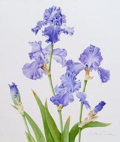Iris Monets Blue © Libby Carreck SBA