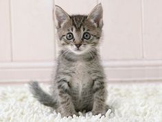 """Headline from the onion: """"Kitten Thinks of Nothing but Murder All Day"""".  As we've always expected!"""