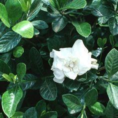 Gardenia Jasminoides Veitchii G Augusta Gardenia Veitchii