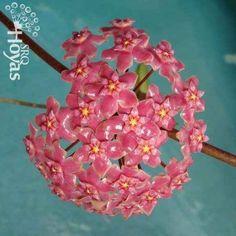 Hoya glabra Plant                                                       …