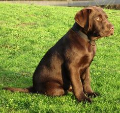 laurelwood labradors - gallery past chocolate Labrador puppies