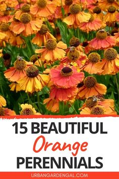 Orange perennial flowers really stand out in the garden. Here are 15 beautiful orange perennials to plant in your flower garden. #perennials #flowers #flowergarden