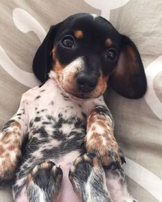 'Moo' - Adorable Little Reese the Miniature Dachshund Puppy                                                                                                                                                                                 More