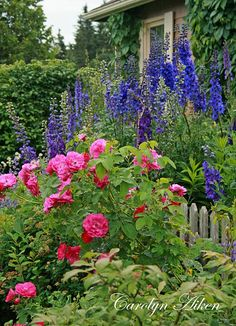 Wonderful background of Delphiniums and Roses in front of them in this English cottage garden