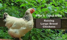 Are you ready to add a large breed chicken to your flock? If you want a sweet, docile, cuddly hen, choose a large breed chicken.Brahmas and Cochins come to