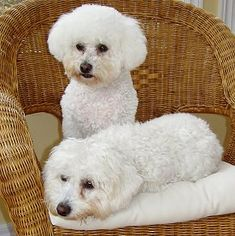 """separation anxiety, excessive barking, and tough housebreaking.. """"A Bichon spending 3 or 4 hours a day in an empty home will not be well behaved or happy."""""""