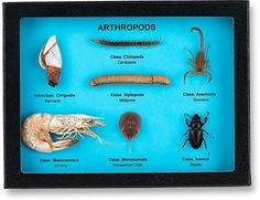 "Arthropods Classroom Riker Mount Display • Features 7 specimens covering 7 classes • Includes a Barnacle (Cirripedia), Centipede (Chilopoda), Millipede (Diplopoda), Scorpion (Arachnid), Shrimp (Malcostraca), Horseshoe Crab (Merostomata) and Beetle (Insecta) • 8"" X 6"" Display"