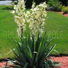 Yucca filamentosa vivace zone 4. pétales comestibles, feuilles très pointues, piquantes et persistantes. 1m x1m Floraison juillet-août, soleil. Croissance lente.
