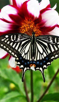 Asian Swallowtail (Papilio xuthus), memeber of the true swallowtails