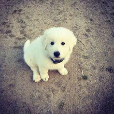 Cooper  #puppy #maremma #oddball #adorable #love #socute by broooooka
