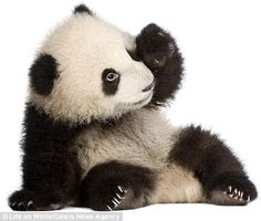 Panda's........just love them. So cuddly!