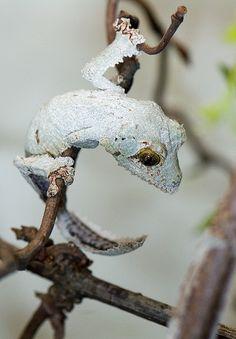 Mossy leaf-tailed gecko - Uroplatus sikorae sikorae - juvenile
