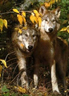Wolves - SAVE THE WOLVES