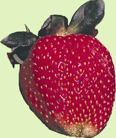 growing strawberries in texas