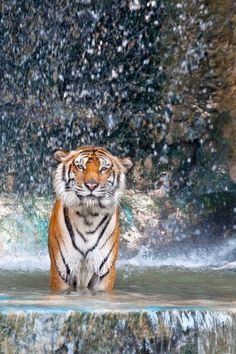 There's just something about Tigers that I am absolutely facinated with! Beautiful animals.