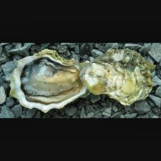 """Sister Point Oysters  are a Pacific Northwest oyster from one of the southern #HoodCanal oyster appellations in Washington State's Puget Sound.  RT@SMB2_0"