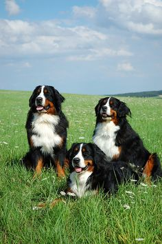Bernese Mountain dog - I will one day have one... along with a boxer as well, of course!