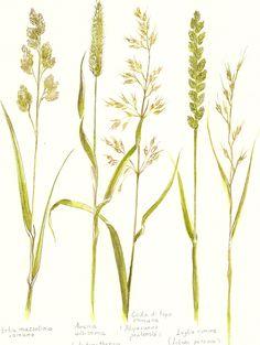 Graminacee spontanee. Poaceae o Gramineae Barnhart. luisa capparotto