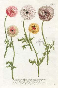 Ranuncubis Asiaticus flore albo (1091×1650)