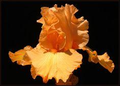 ORANGE IRIS by THOM-B-FOTO.deviantart.com on @deviantART