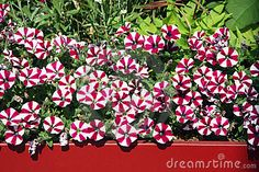 Balcony Flowers Petunia - Download From Over 54 Million High Quality Stock Photos, Images, Vectors. Sign up for FREE today. Image: 21069725