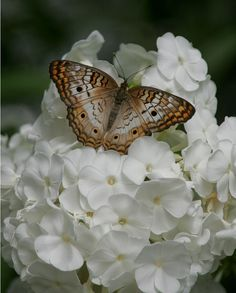 Beautiful butterfly on white blossom