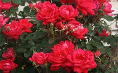 Add some classic color to your yard with roses. This All About Roses guide from The Home Depot has all you need to know about different varieties of roses, how to care for them, and how to prune roses for maximum blooms.
