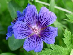 Blue Cranesbill and an interesting post on languages. Read more