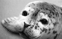 baby harbor seal - Yahoo Image Search Results