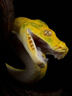 Green tree python by Angi Nelson Python, Nature Animals, Animals And Pets, Cute Animals, Les Reptiles, Reptiles And Amphibians, Beautiful Snakes, Animals Beautiful, Yellow Snake