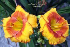 Angelo's Daylilies...Angelo Franceschi