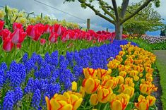 Tulips and Muscari growing in the Park Ultra HD Wallpaper Spring Images, Spring Pictures, The Colour Of Spring, Bright Spring, Nature Wallpaper, Wallpaper Backgrounds, Wallpapers, Garden Landscape Design, Garden Landscaping