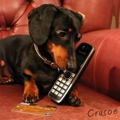 DOXIE CRUSOE dog ordering by telephone