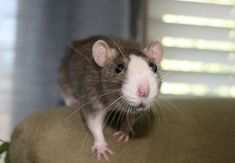 Safe Foods for Rats List Rat Care, Albino, Pink Eyes, Rats, Safe Food, Foods, Animals, Food Food, Food Items