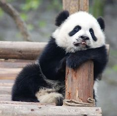 Poor panda looks a bit tired..Nobody knows the troubles I've seen